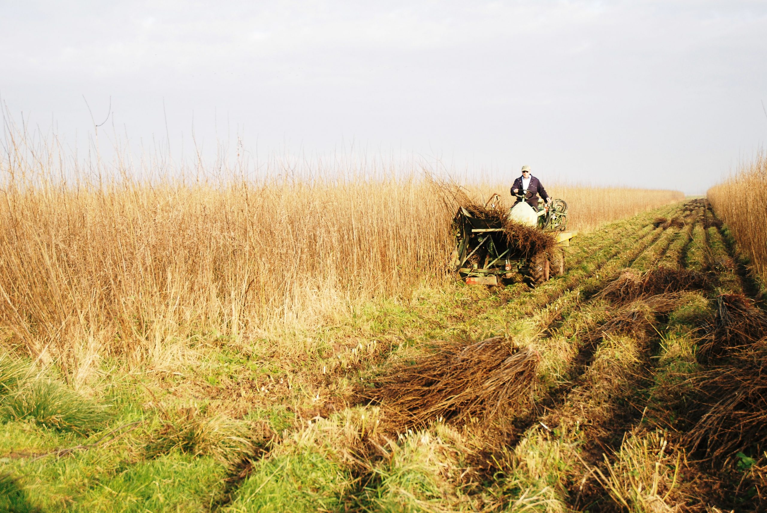 willow harvesting on the Somerset levels